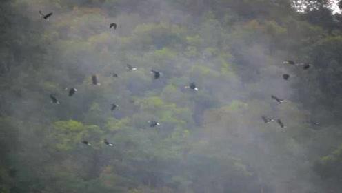 罕见画面曝光!云南观测到国内最大犀鸟集群,数量超100只