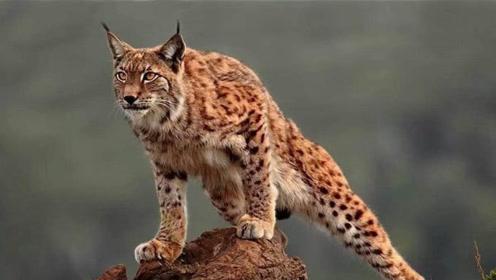 大山猫突然跑过来,对峙谁都不敢动,场面一度尴尬