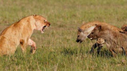 鬣狗围攻母狮子,关键时刻雄狮来营救,咬死鬣狗为母狮报仇!