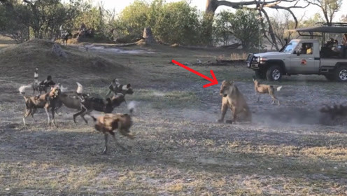 狂妄野狗集体猎杀落单狮子,狮子咬死一只示威,野狗瞬间怂了