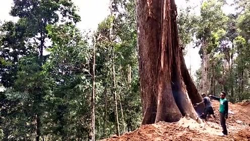你见过这么粗的参天大树吗?实拍砍伐过程,网友:这得长不少年吧