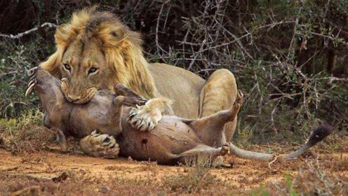 狮子正在掏洞,突然被拉进洞里,场面惊险刺激