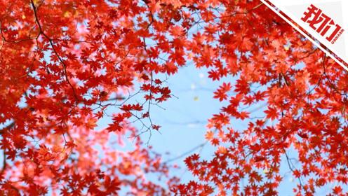 实拍:仙峰国家森林公园枫叶似火层林尽染 游客直呼景色太美