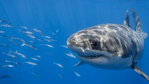 恐龙在地球上生存1亿年就灭绝了,为何鲨鱼能存活5亿年,还未消失呢?