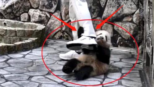 """日本饲养员如何对待中国""""大熊猫""""?要不是有视频,简直不敢相信!"""