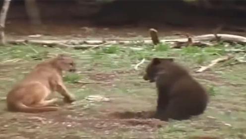 了不起!美洲狮大战黑熊,竟在10招之内将熊拿下