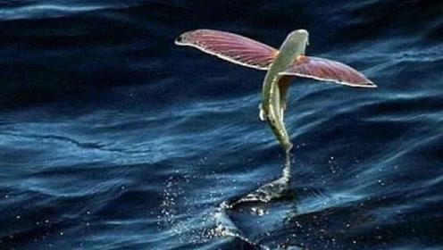 这种鱼能在空中滑翔,被称为海军航空兵,科学家表示为躲避进攻!