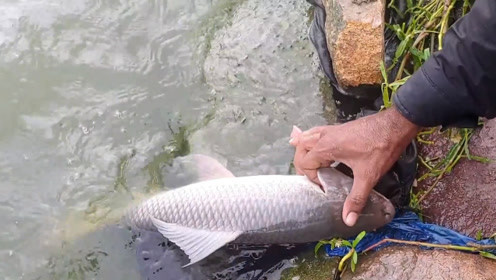 猛提一下之后,鱼竿就没有什么作用了,遛鱼就靠手拽线……