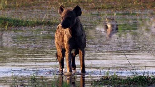 鬣狗在豺犬群里偷食儿也胆战心惊!见好就收的土狼识时务!