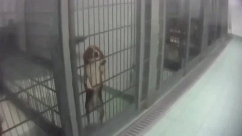德国实验室被曝虐待动物:猴子锁喉 猫狗吐血