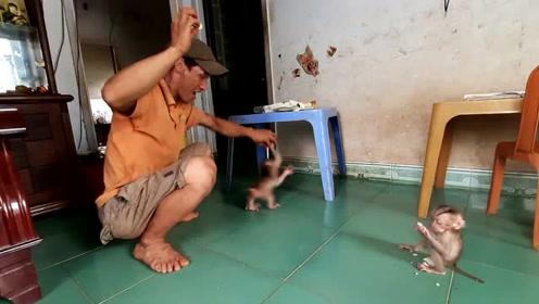 家里闯进两只小猴子,大叔拿出食物都抢着要,这是饿了多久?