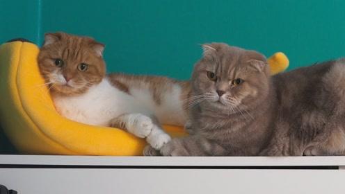 可爱小动物:大黄猫在一起玩耍