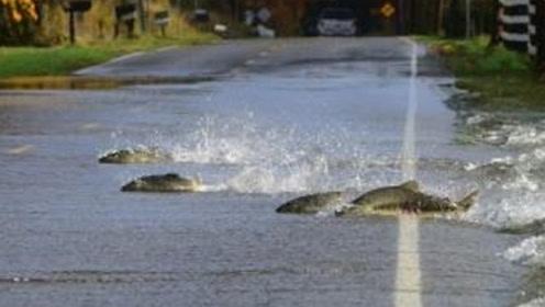 神奇的自然奇观,一群鱼排队过马路,司机都得给其让路!