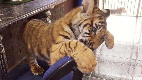 小老虎没经过主人同意,把椅子当成猎物撕咬,结果接下来怂了