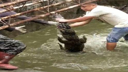 抓鳄鱼的小伙一看就是生手,老手都不会这样处理,你怎么看?