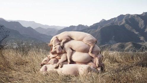 美国为何能成为养猪第一大国?看完他们处理猪粪的方法,你就明白了