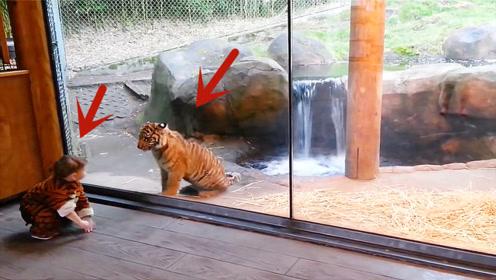 宝宝穿着老虎装来动物园玩,老虎看到会是什么反应,这也太可爱了