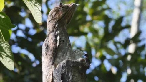 鸟界的变色龙,一遇危险就伪装成枯木,不仔细看还发现不了