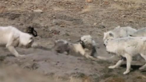 由于北极附近的食物匮乏,白狼不同族群之间,也会出现厮杀的场面