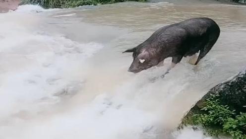 这头猪怎么了?自己跑到急流中,想不开了?