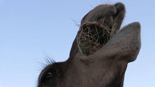 为何骆驼爱吃带刺的仙人掌?并且也不怕扎嘴?答案让人大开眼界!