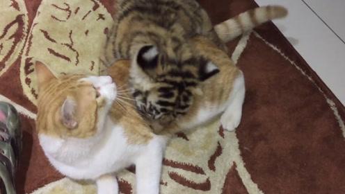 小老虎错把橘猫当同类,冲上去就搂搂抱抱,结局让人苦笑不得!