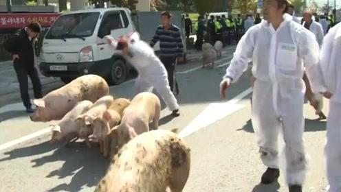 为抗议防疫政策,韩国养猪户在政府大楼前放跑猪仔