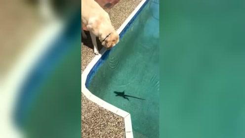泳池边看到的一幕,接下来,这狗狗给2千都不卖!