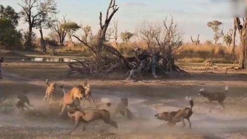 狮子母子惨遭野狗围捕,为了能让孩子活命,它独自面对野狗群
