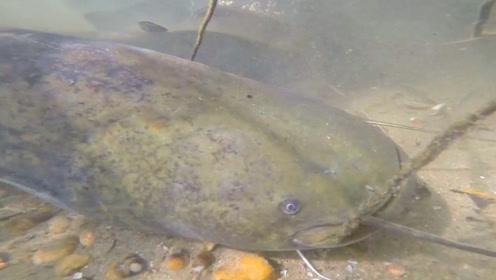 水下拍摄,发现了好多大鲶鱼