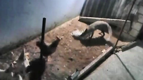 贪心的狐狸翻墙进入鸡笼,准备再捕一只鸡,下一秒大家憋住别笑