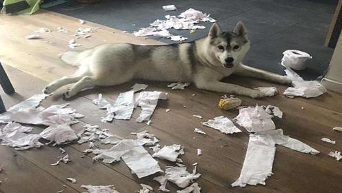 狗主人出差将二哈寄托给朋友,回来时房子差点变毛坯房