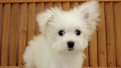 超可爱的天然呆马尔济斯犬宝宝,被摄像头吓得一动也不敢动!