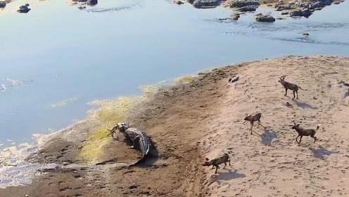 血腥味引来水中的鳄鱼,面对夺食的鳄鱼,野狗群会做出什么选择呢?
