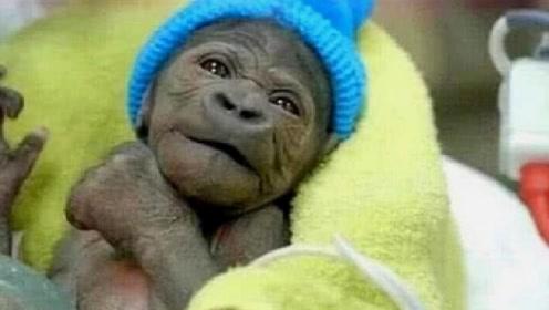 猩猩和婴儿一起长大,误认为自己是人,9个月后专家赶紧终止实验