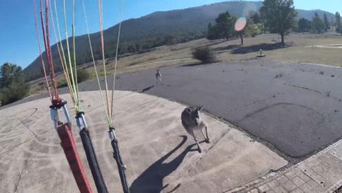 男子跳伞还没落地,被冲上来的袋鼠暴揍一顿,真是倒了大霉