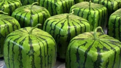 售价900元一个的日本方形西瓜 不好吃为何还那么贵