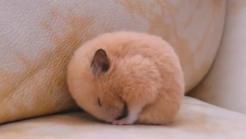 金丝熊在沙发上睡觉,主人叫它回窝睡,结果小家伙竟然生气了