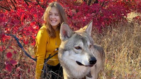 真战斗民族 俄一家庭养狼当宠物共同生活亲密无间