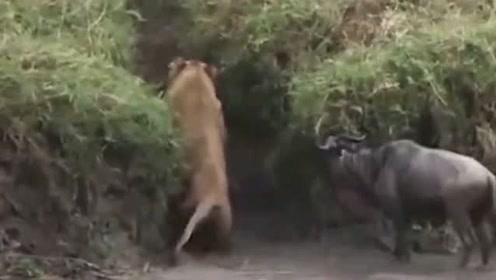狮子捕食角马,反被角马揍得不敢动弹,镜头记录搞笑画面!