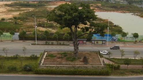 """南宁最牛""""钉子树"""":已有402岁系明朝万历古扁桃树 道路施工"""