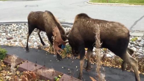 两只驼鹿的巅峰对决,引得路人纷纷围观,网友:推土机式的战斗
