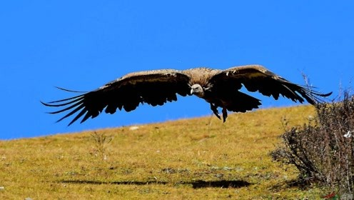 鹰隼抓到一只布谷鸟,活着现场就给拔毛了