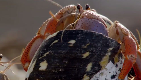 一群寄居蟹迁居新壳,其中两只抢了起来,还好有同伴帮忙阻拦