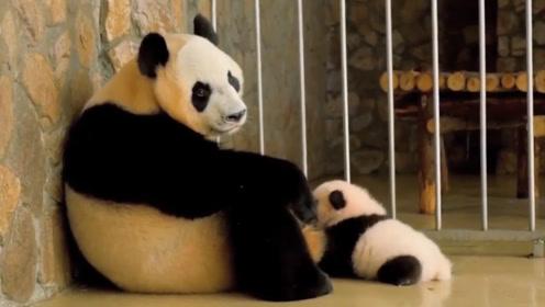 一孕傻三年,熊猫妈妈生完孩子后就这表情,实在是太搞笑了