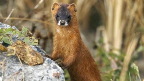 为什么农村人说黄鼠狼是邪物,还不能招惹它,专家说出实情!
