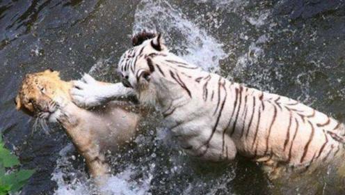 白虎水中乘凉遭遇狮群挑衅,完全不惧怕还成功反击,不愧是兽中之王