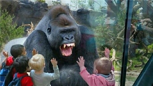 大猩猩被小孩激怒,一拳击碎了钢化玻璃,镜头拍下惊险全过程