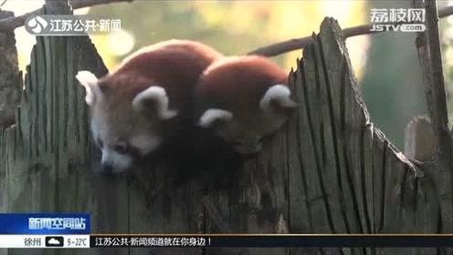 小熊猫双胞胎首次走出户外 触摸外面的新世界 可爱又呆萌!