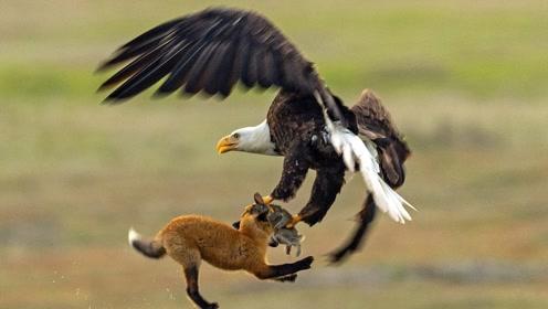 狐狸捉到一只野兔,突然发现不对回头一看,下一秒被老鹰抓上了天